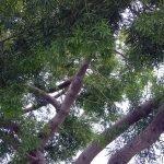 fern pine tree